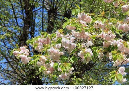 Yoshino Cherry Blossom