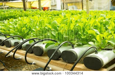 Arugula Plants Growing In Hydroponic Culture