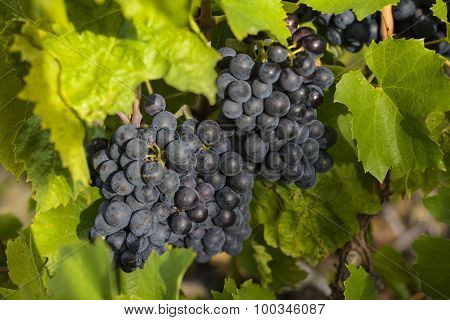 Grapes In Vineyards Before Harvest
