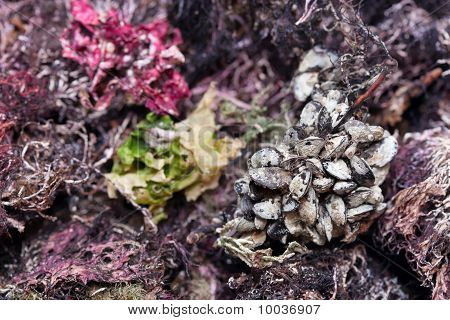 Group Of Clams Against The Colorful Seaweed.