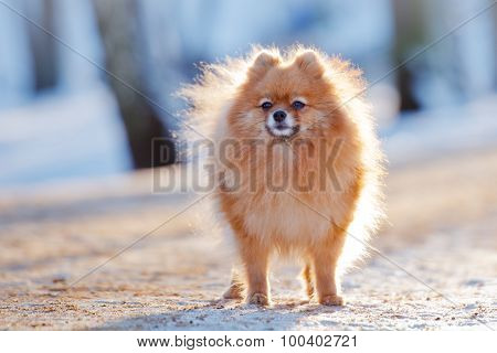 adorable pomeranian spitz dog outdoors in winter