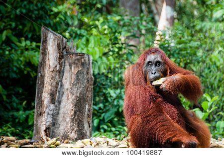 Orang Utan female with bananas in Borneo Indonesia