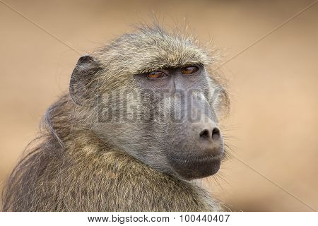 Close-up Portrait Of Chacma Baboon Head Staring Into The Distance