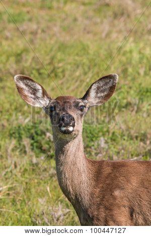 Blacktail Deer Doe Portrait