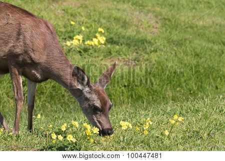 Blacktail Deer Doe