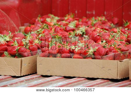 Fresh picked ripe strawberries in flats ready for farmer's market in back of pick-up truck