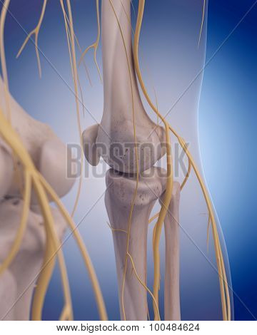 medically accurate illustration - nerves of the posterior leg