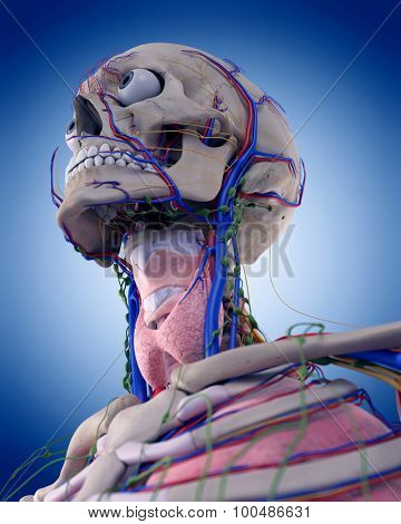 medically accurate illustration of the throat anatomy