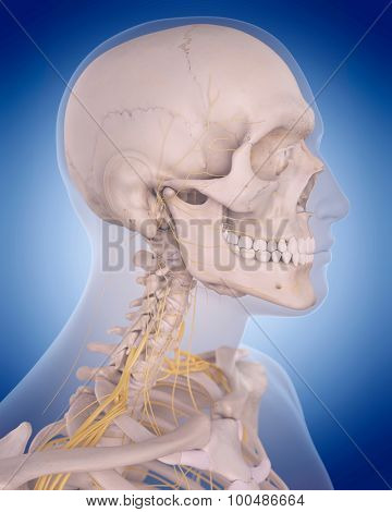 medically accurate illustration - nerves of the  neck
