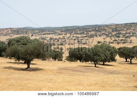 Core trees in the Alentejo landscape
