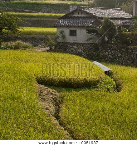 Rice Field And Farmhouse At Amami Japan