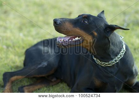 Young Doberman Outdoor