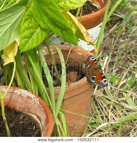 Butterfly urticaria sit on pot
