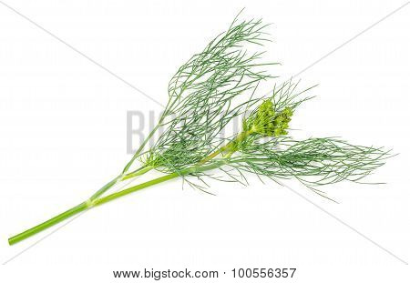 Fennel Isolated