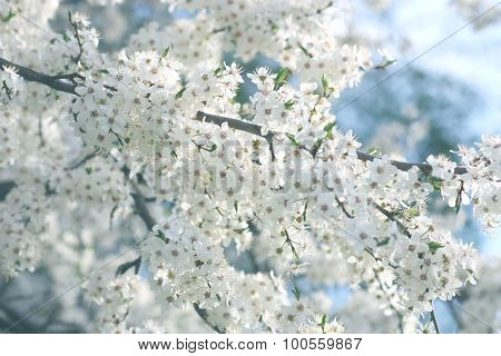 Flowers Of The Cherry-plum