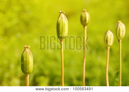 Five green unripe poppies on a meadow