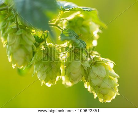 Detail of fresh hops cones