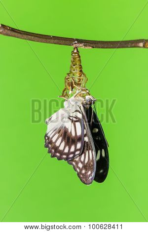 Black-veined butterfly emerging from pupal on green background poster