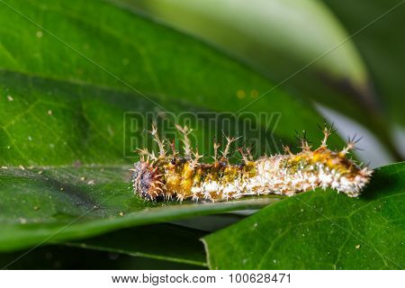 Caterpillar of black-veined sergeant butterfly on leaf poster
