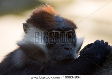 Collared Mangabey Monkey