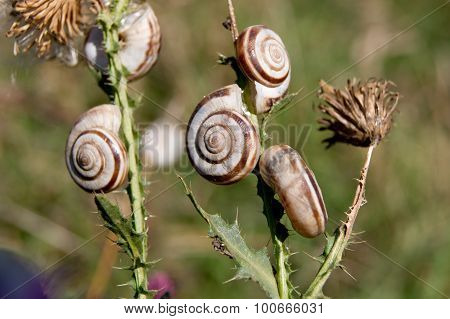 Grove snail (Cepaea nemoralis) in large numbers in late summer appear. poster