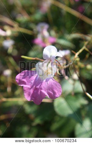 Wild Impatient Flower