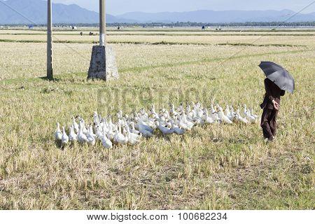 Old man herding geese