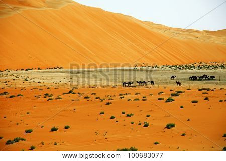 Amazing sand dune formations and camels in Liwa oasis United Arab Emirates