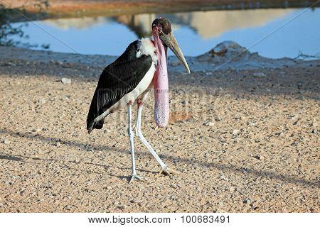 African Marabou stork