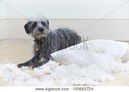 Badly Behaved Dog Ripping Up Cushion At Home