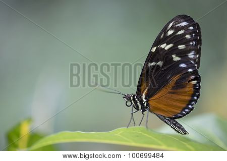 Tiger Longwing Butterfly - Heliconius hecale