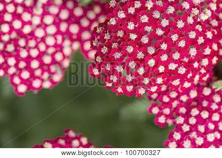 Yarrow - Achillea millefolium - Laura