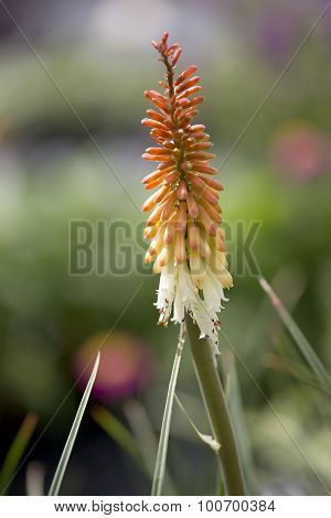 Torch Lily flower with red, orange and yellow petals poster