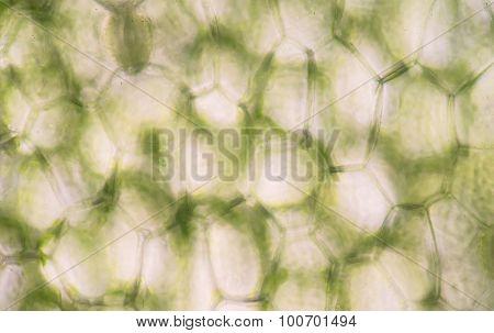 Plant Cells Under Microscope