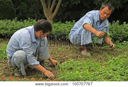 two worker are weeding lawn in public garden of Shanghai