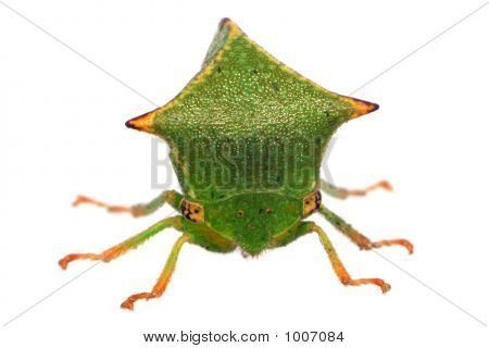 Front View Of A Buffalo Treehopper