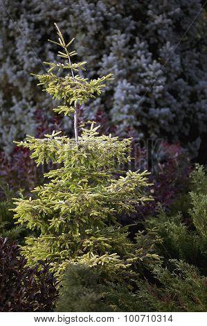 Oriental Spruce - Picea oriantalis - 'Skylands'-Pinaceae poster