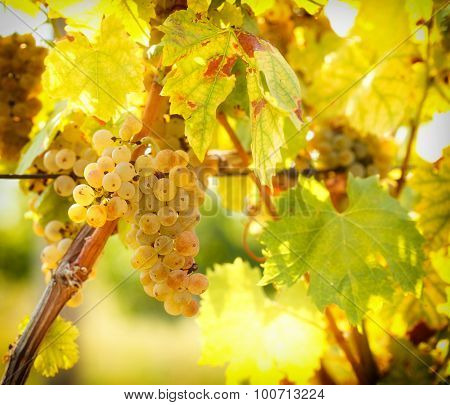Ripe grapes colors like gold - Riesling