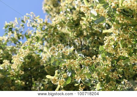 Basswood Flowers Background