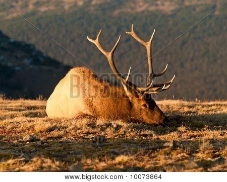 Bull Elk In Taking A Break From Rut On The Colorado Tundra