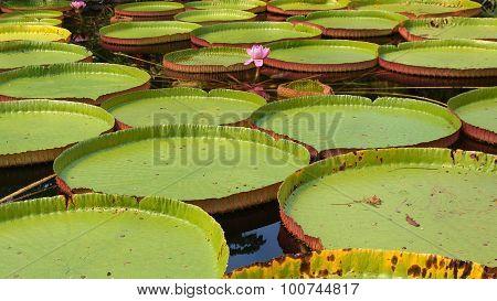 Flowering Victoria Amazonica