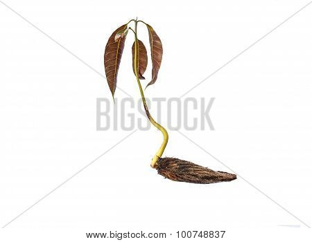 Mango Seedling With Seed And Fresh Leaves Isolated On White