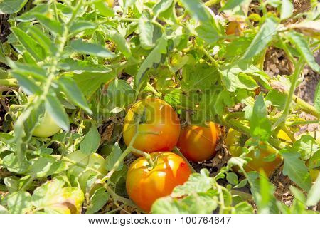 Growing Tomatoes.