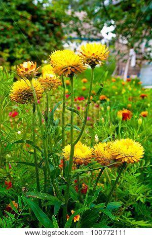 Yellow Helichrysum Paper Daisy Strawflower.