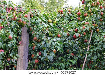 Many many pears on the tree