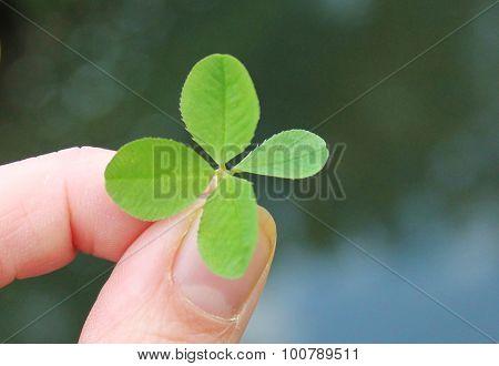 hand holding four leaf clover