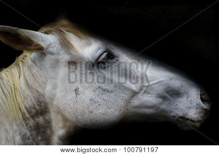 White horse head isolated on black background