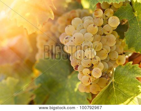 Grape Riesling in vineyard in late afternoon