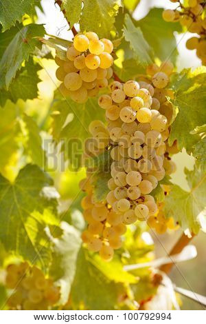 Grape in vineyard
