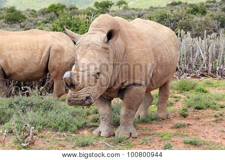 Poached African Rhino
